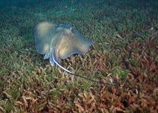 Sydlig stingrocka i havsgräs Royaltyfria Foton
