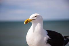 Sydlig svart-dragen tillbaka fiskmås Royaltyfri Bild