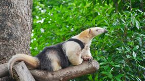 Sydlig tamandua fotografering för bildbyråer