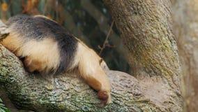Sydlig Tamandua för myrslok mycket rolig krypning på hans buk på en trädfilial stock video