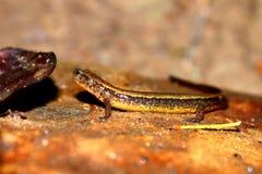 Sydlig Två-fodrad salamander Indiana Arkivbilder