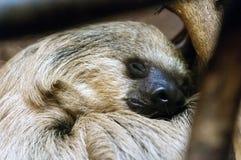 Sydlig två-toed sloth Royaltyfria Bilder