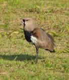 Sydlig vipafågel Fotografering för Bildbyråer