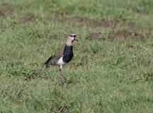 Sydlig vipaVanelluschilensis Arkivfoto