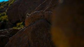 Sydlig Viscacha eller Vizcacha Lagidium Viscacia i den höga Andean platåöknen i Bolivia royaltyfri fotografi