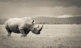 Sydlig vit noshörning Royaltyfria Bilder