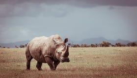 Sydlig vit noshörning Arkivbilder