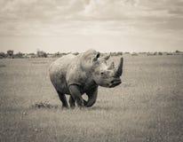 Sydlig vit noshörning Arkivbild