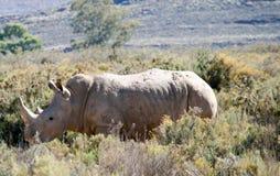 Sydlig vit noshörning Arkivfoto