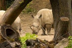 Sydlig vit noshörning, Ceratotherium s simum alla 5na av den mest sällskapliga noshörningarten Royaltyfri Fotografi