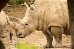 Sydlig vit noshörning, Ceratotherium s simum alla 5na av den mest sällskapliga noshörningarten Royaltyfria Foton
