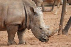 Sydlig vit noshörning - Ceratotheriumsimumsimum Arkivfoton
