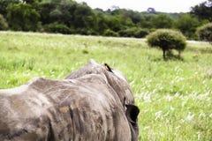 Sydlig vit noshörning med Oxpecker arkivfoton