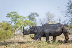 Sydlig vit noshörning i den Kruger nationalparken, Sydafrika Royaltyfria Bilder