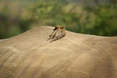 Sydliga afrikanska fåglar Royaltyfri Fotografi