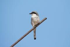 Sydliga Grey Shrike Arkivfoton