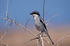 Sydliga Grey Shrike Royaltyfria Foton