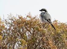 Sydliga Grey Shrike, Zuidelijke Klapekster, Laniusmeridionalis royaltyfri fotografi