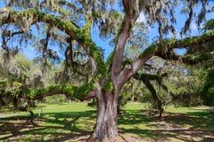 Sydliga Live Oak Tree royaltyfri bild