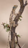 Sydligt vagga att garva för Agamasol Royaltyfria Foton