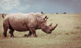 Sydligt vitt noshörningCloseupfoto Royaltyfri Bild