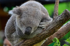Sydney Aquarium & vida selvagem - coala Imagem de Stock Royalty Free