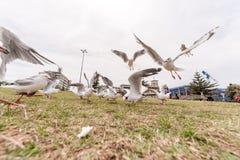 SYDNEY, AUSTRÁLIA - 25 DE NOVEMBRO DE 2014: Gaivota de prata de alimentação perto da praia de Bondi, Sydney, Austrália Grande âng Fotografia de Stock
