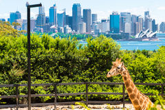 Sydney, Australië - Januari 11, 2014: Giraf bij Taronga-Dierentuin in Sydney met Havenbrug op achtergrond Royalty-vrije Stock Foto's