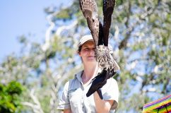 Nimble kites bird is about to fly from bird trainer hand in Flight Birds show at Taronga Zoo. stock photos