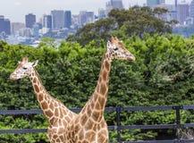 SYDNEY, AUSTRALIA - 27 DE DICIEMBRE DE 2015 Jirafas en el parque zoológico w de Taronga Imagen de archivo