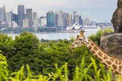 SYDNEY, AUSTRALIA - 27 DE DICIEMBRE DE 2015 Jirafas en el parque zoológico w de Taronga Fotos de archivo