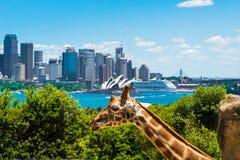 Sydney, Australia - 11 de enero de 2014: Girraffe en el parque zoológico de Taronga en Sydney con el puente del puerto en fondo Fotos de archivo libres de regalías