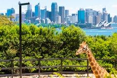 Sydney, Australia - 11 de enero de 2014: Jirafa en el parque zoológico de Taronga en Sydney con el puente del puerto en fondo Fotos de archivo libres de regalías