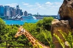 Sydney, Australia - 11 de enero de 2014: Jirafa en el parque zoológico de Taronga en Sydney con el puente del puerto en fondo Imagen de archivo libre de regalías