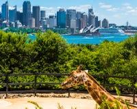 Sydney, Australia - 11 de enero de 2014: Jirafa en el parque zoológico de Taronga en Sydney con el puente del puerto en fondo Fotografía de archivo libre de regalías