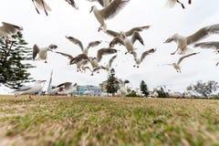 SYDNEY, AUSTRALIA - 25 DE NOVIEMBRE DE 2014: Gaviota de plata de alimentación cerca de la playa de Bondi, Sydney, Australia Acció Imágenes de archivo libres de regalías