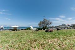 SYDNEY, AUSTRALIA - 24 DE NOVIEMBRE DE 2014: Palomas de plata de alimentación de la gaviota en la playa de Bondi, Sydney, Austral Imagen de archivo