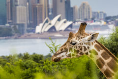 SYDNEY, AUSTRALIA - DECEMBER 27, 2015. Giraffes at Taronga Zoo w. Ith a view of the skyline of the CBD of Sydney in the background. Syndey on December 27, 2015 Stock Photos
