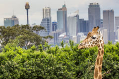 SYDNEY, AUSTRALIA - DECEMBER 27, 2015. Giraffes at Taronga Zoo w. Ith a view of the skyline of the CBD of Sydney in the background. Syndey on December 27, 2015 Royalty Free Stock Photos