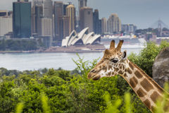 SYDNEY, AUSTRALIA - DECEMBER 27, 2015. Giraffes at Taronga Zoo w. Ith a view of the skyline of the CBD of Sydney in the background. Syndey on December 27, 2015 Stock Photo