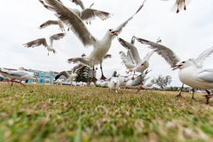 SYDNEY, AUSTRALIA - NOVEMBER 25, 2014: Feeding Silver Gull in Bondi Beach, Sydney, Australia. Flying Action. Stock Images