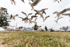 SYDNEY, AUSTRALIA - NOVEMBER 25, 2014: Feeding Silver Gull Close to Bondi Beach, Sydney, Australia. Flying Action. Wide Angle. Royalty Free Stock Images