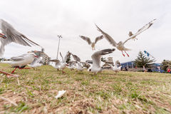 SYDNEY, AUSTRALIA - NOVEMBER 25, 2014: Feeding Silver Gull Close to Bondi Beach, Sydney, Australia. Wide Angle. Flying Action. Stock Photography