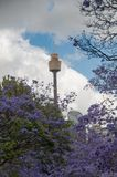 Alley of blooming Jacaranda trees with Sydney Westfield Tower on stock image