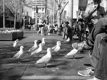 SYDNEY, AUSTRALIA - Sept 12, 2015 - A common view of seagulls waiting to be fed by tourists at Circular Quay, Sydney, Australia Royalty Free Stock Photos