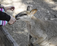SYDNEY, AUSTRALIA - Sept 15, 2015 - Feeding kangaroo at Featherdale, Australia. Stock Image