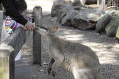 SYDNEY, AUSTRALIA - Sept 15, 2015 - Feeding kangaroo at Featherdale, Australia. Stock Photography