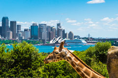 Sydney Australia, Styczeń, - 11, 2014: Girraffe przy Taronga zoo w Sydney z schronienie mostem w tle Zdjęcia Royalty Free