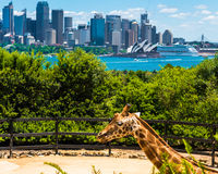 Sydney Australia, Styczeń, - 11, 2014: Żyrafa przy Taronga zoo w Sydney z schronienie mostem w tle Fotografia Royalty Free