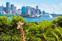 Sydney, Australie - 11 janvier 2014 : Girafe au zoo de Taronga à Sydney avec le pont de port à l'arrière-plan Photos libres de droits